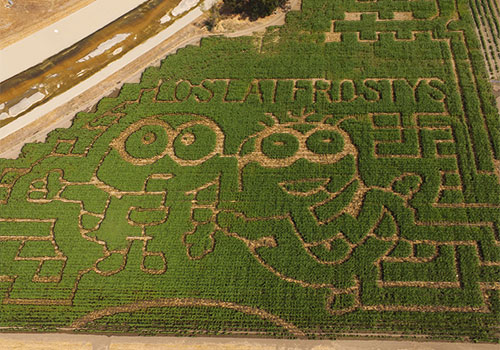 The 2017 Minions Corn Maze at Frosty's Forest U-Pick Pumpkin patch and Corn Maze in Chino.